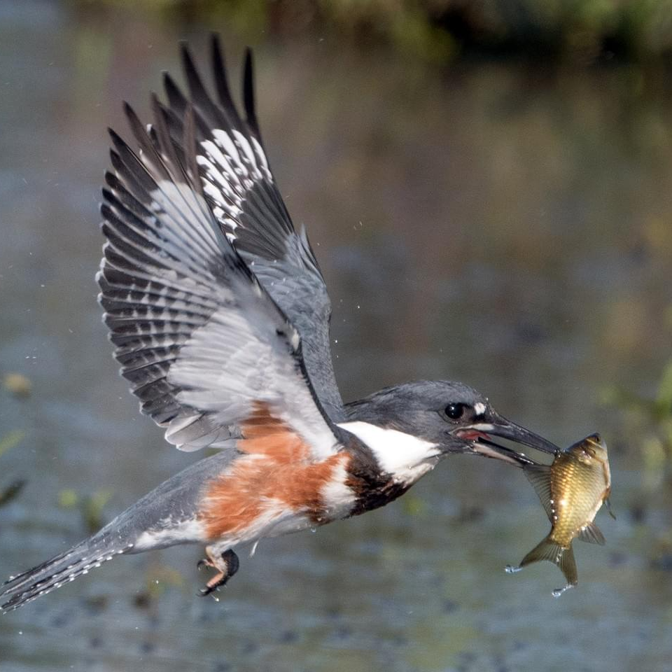 The Belted Kingfisher with a fish on its beak
