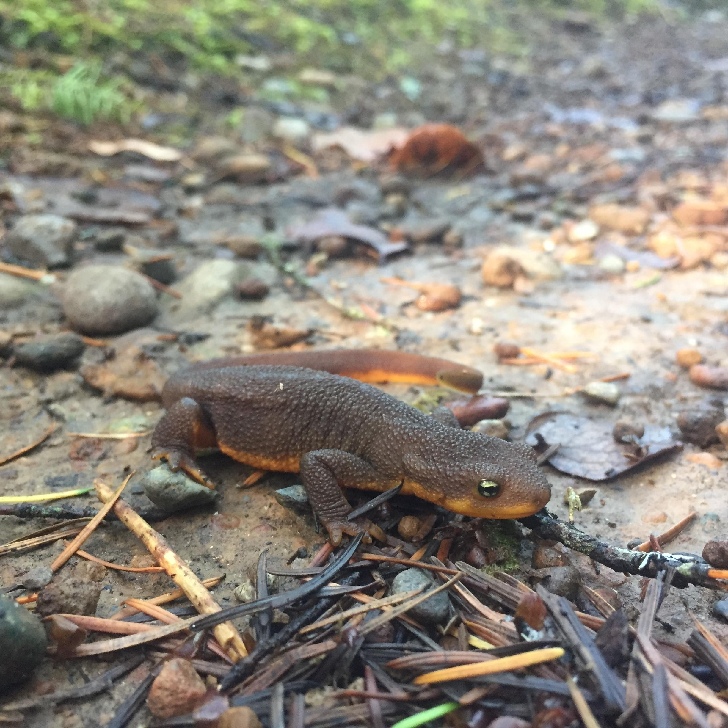 Image of rough-skinned newt at nature adventures at Alderbrook