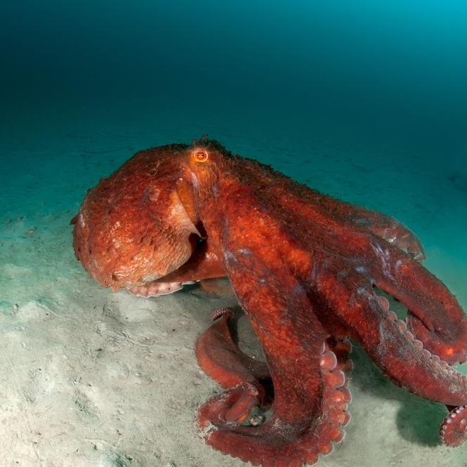 Image of Giant Pacific Octopus at Hood Canal in Alderbrook