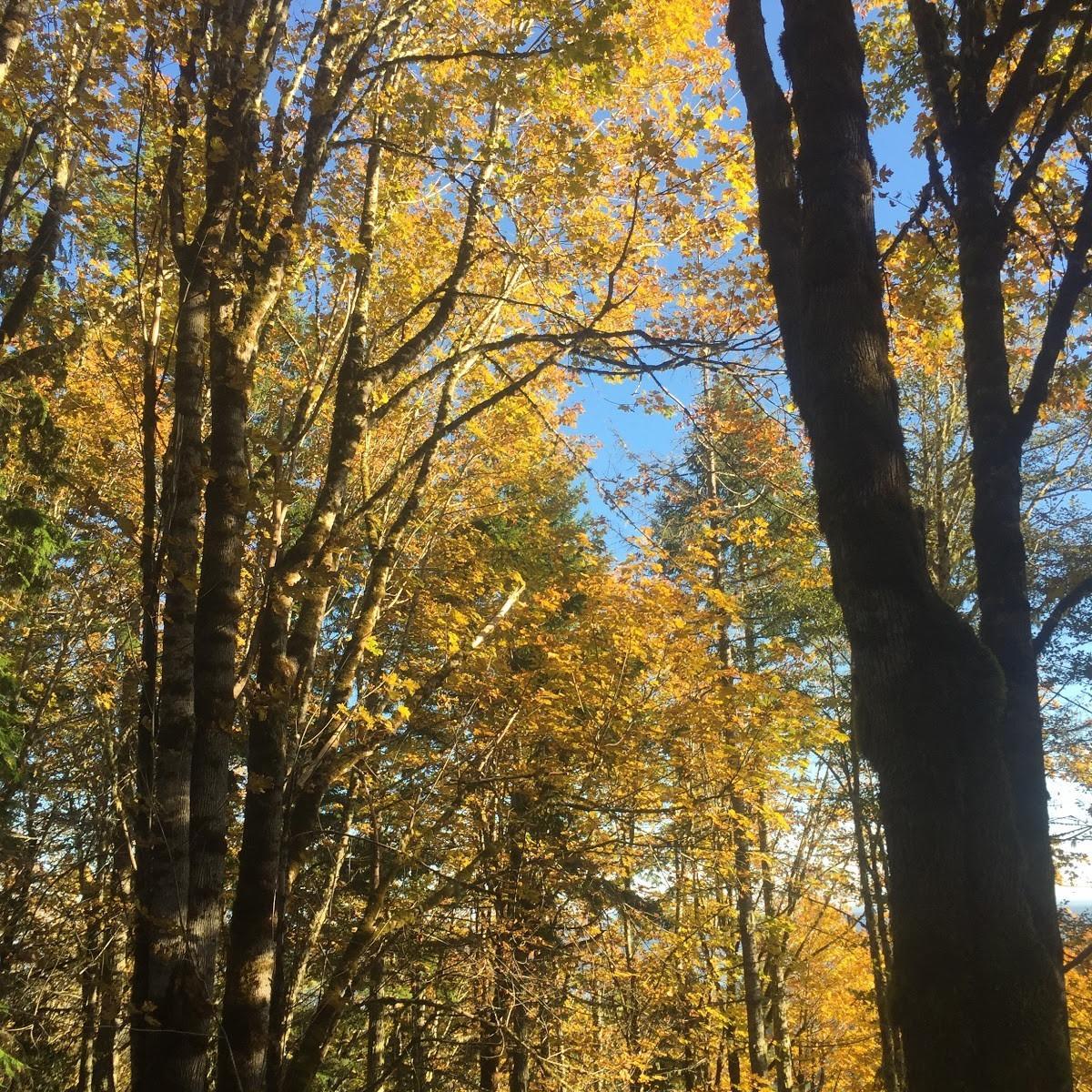 Bigleaf Maple at nature adventure Area at Alderbrook Woods