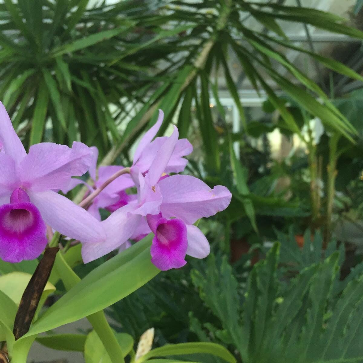 Cattleya Patinii a type of orchid in a Greenhouse at Alderbrook