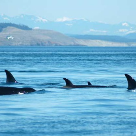 Photo courtesy of the Orca Network