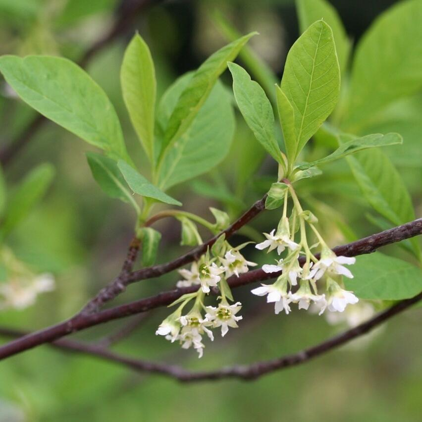 An Image of flower of a Indian Plum tree