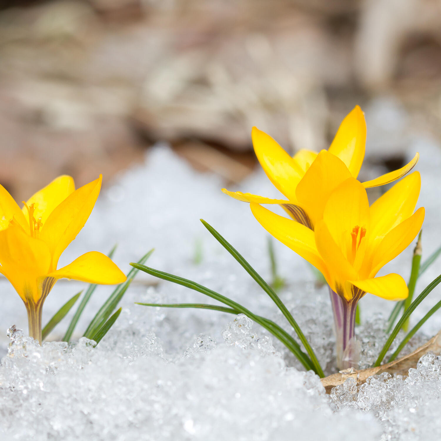 Yellow flowers blooming from snow