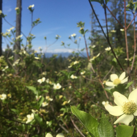 Photo courtesy of Pacific Dogwood at Alderbrook Woods