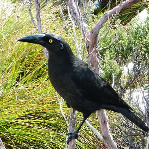 Crow on a tree near Cradle Mountain Hotel