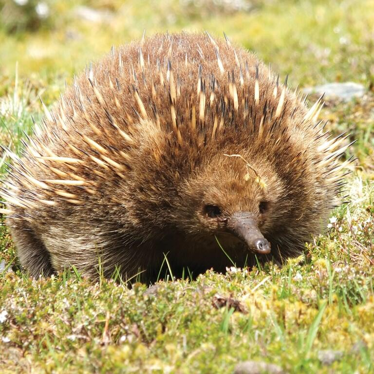 Echidnas in the Sanctuary near Cradle Mountain Hotel