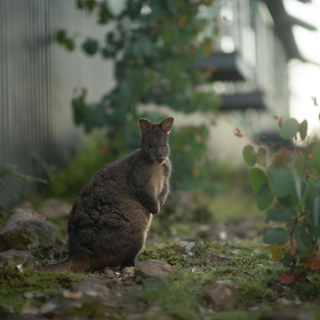Kangaroo in the Sanctuary near Cradle Mountain Hotel