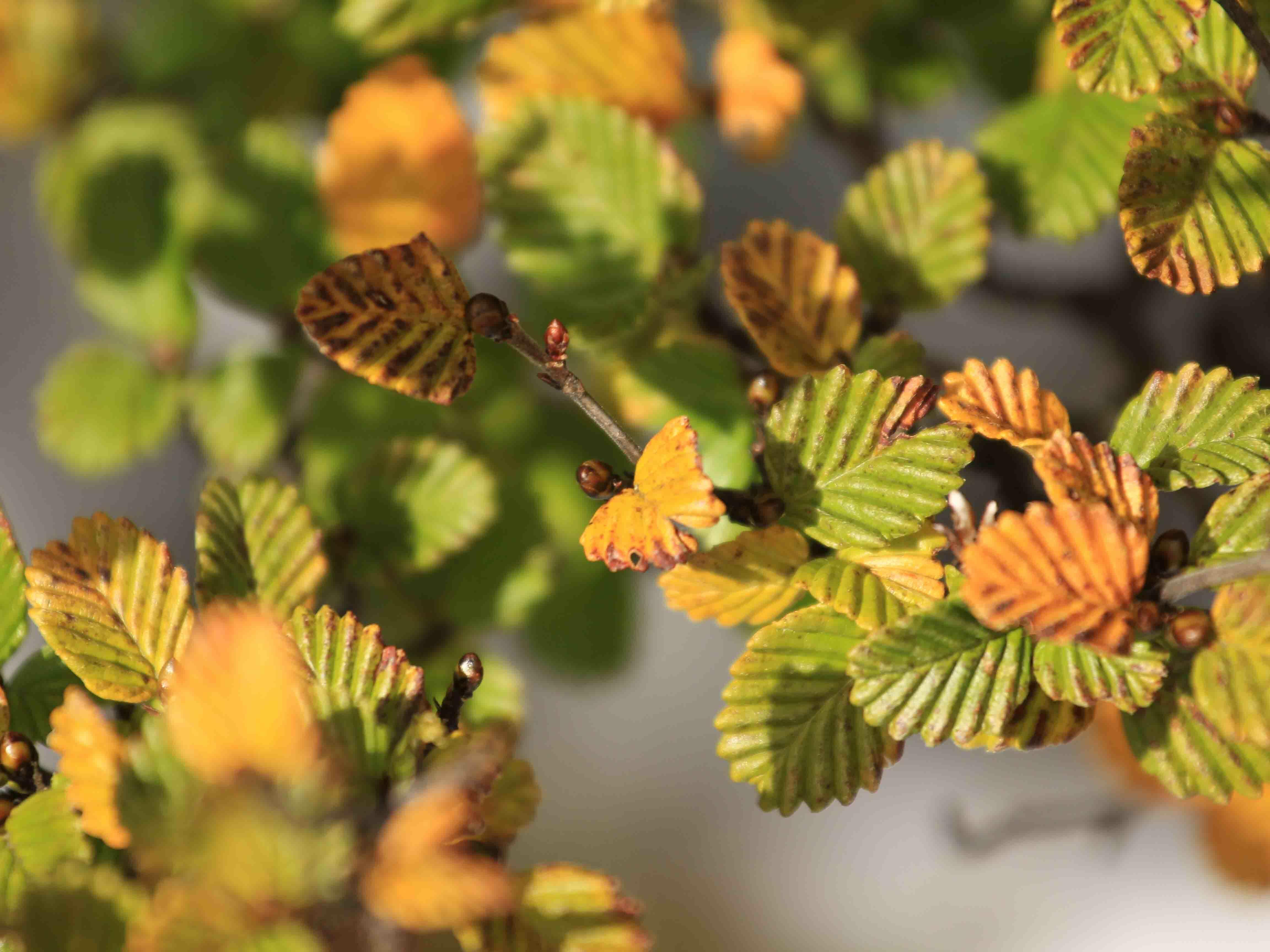 Fagus leaves near Cradle Mountain Hotel