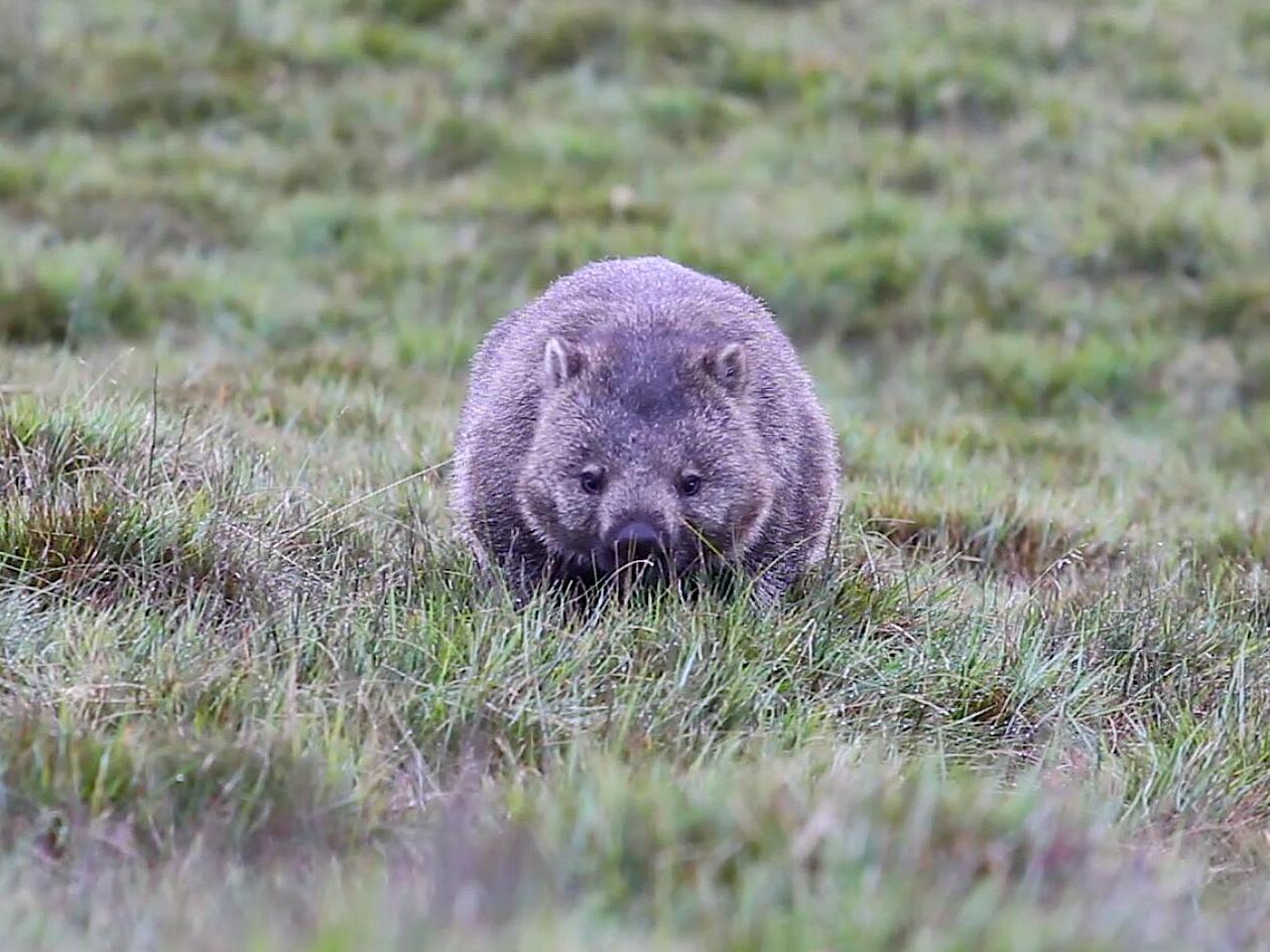 Common wombat in the Sanctuary near Cradle Mountain Hotel