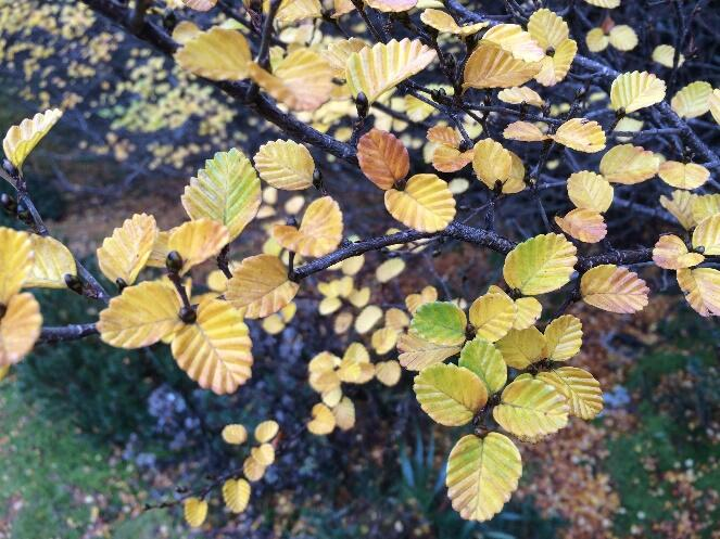 Fagus on Temperate Forest near Cradle Mountain Hotel