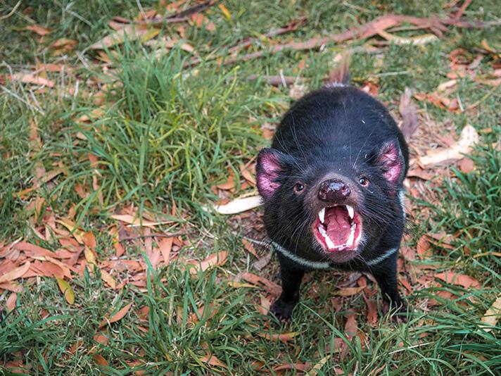 Tasmanian Devil in devils sanctuary near Freycinet Lodge