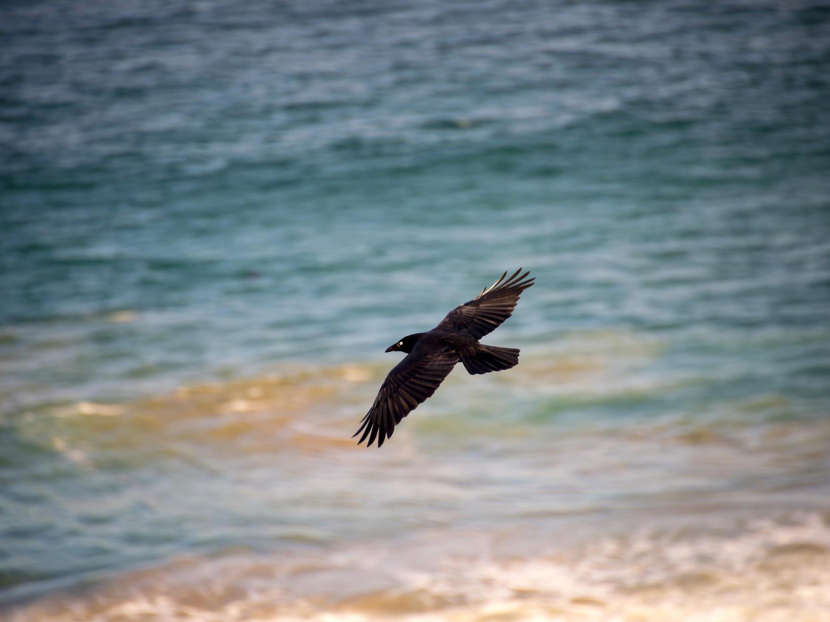 Craw flying over the sea near  Freycinet Lodgev