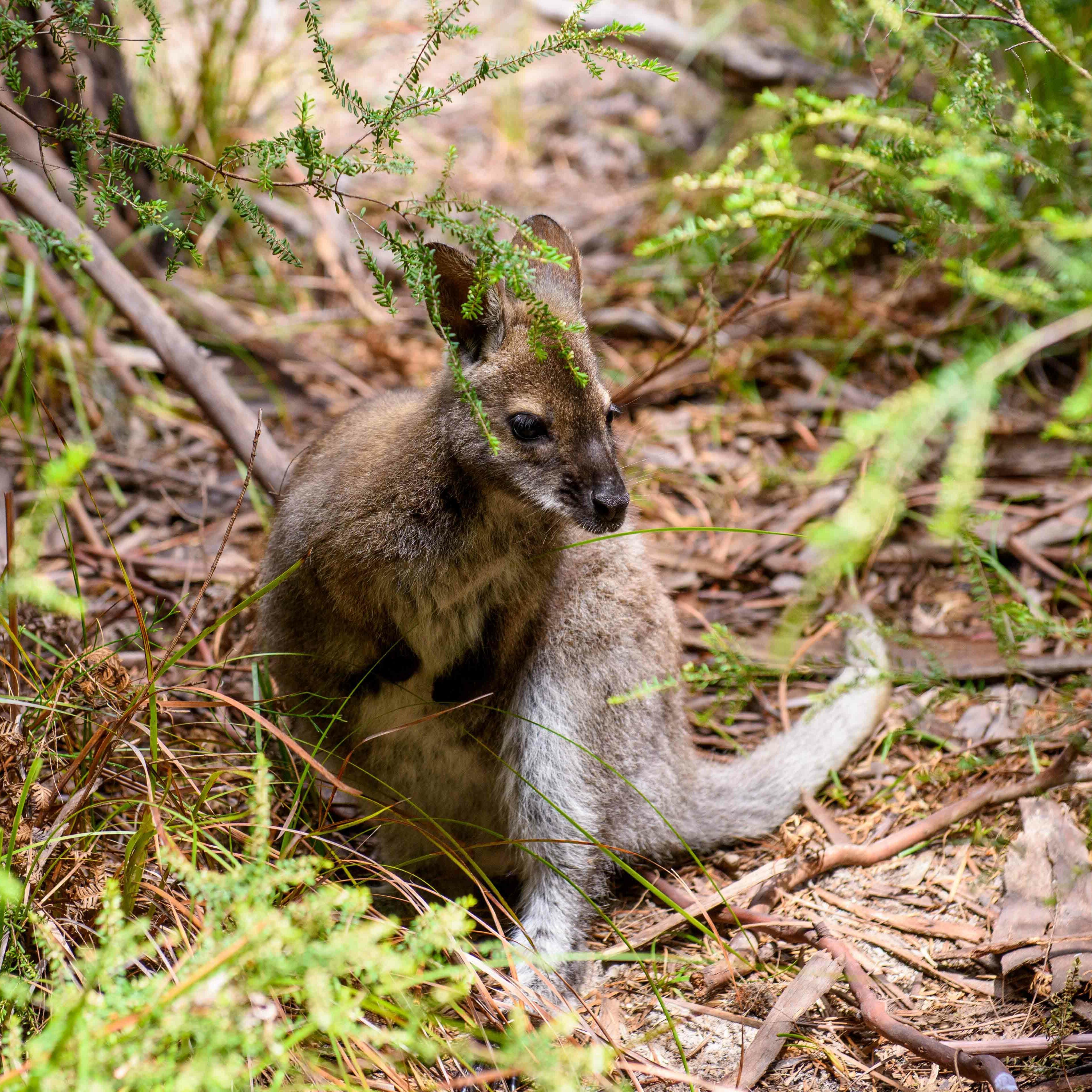 baby Kangaroo at the national park near Freycinet Lodge