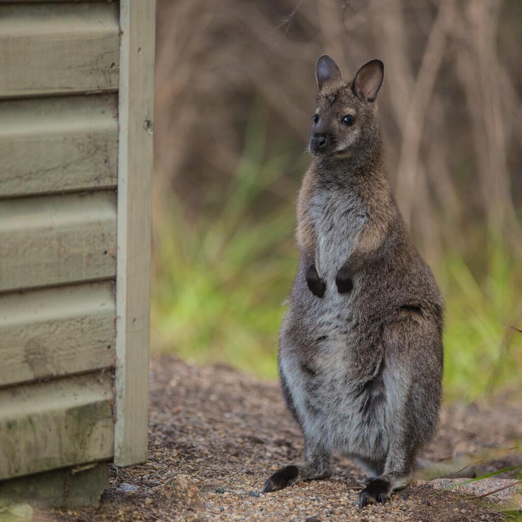 Kangaroo at the national park near  Freycinet Lodge