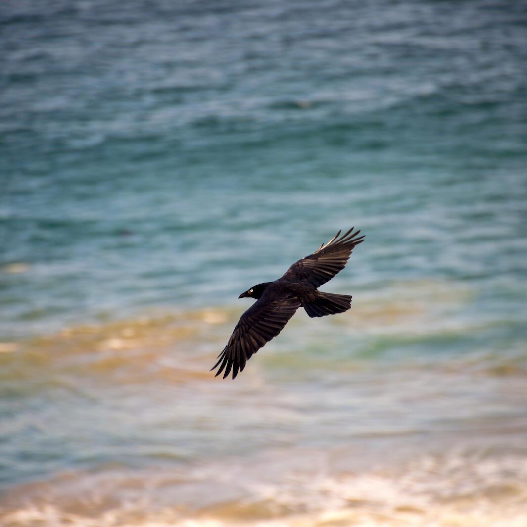 Craw flying at the sea near  Freycinet Lodge
