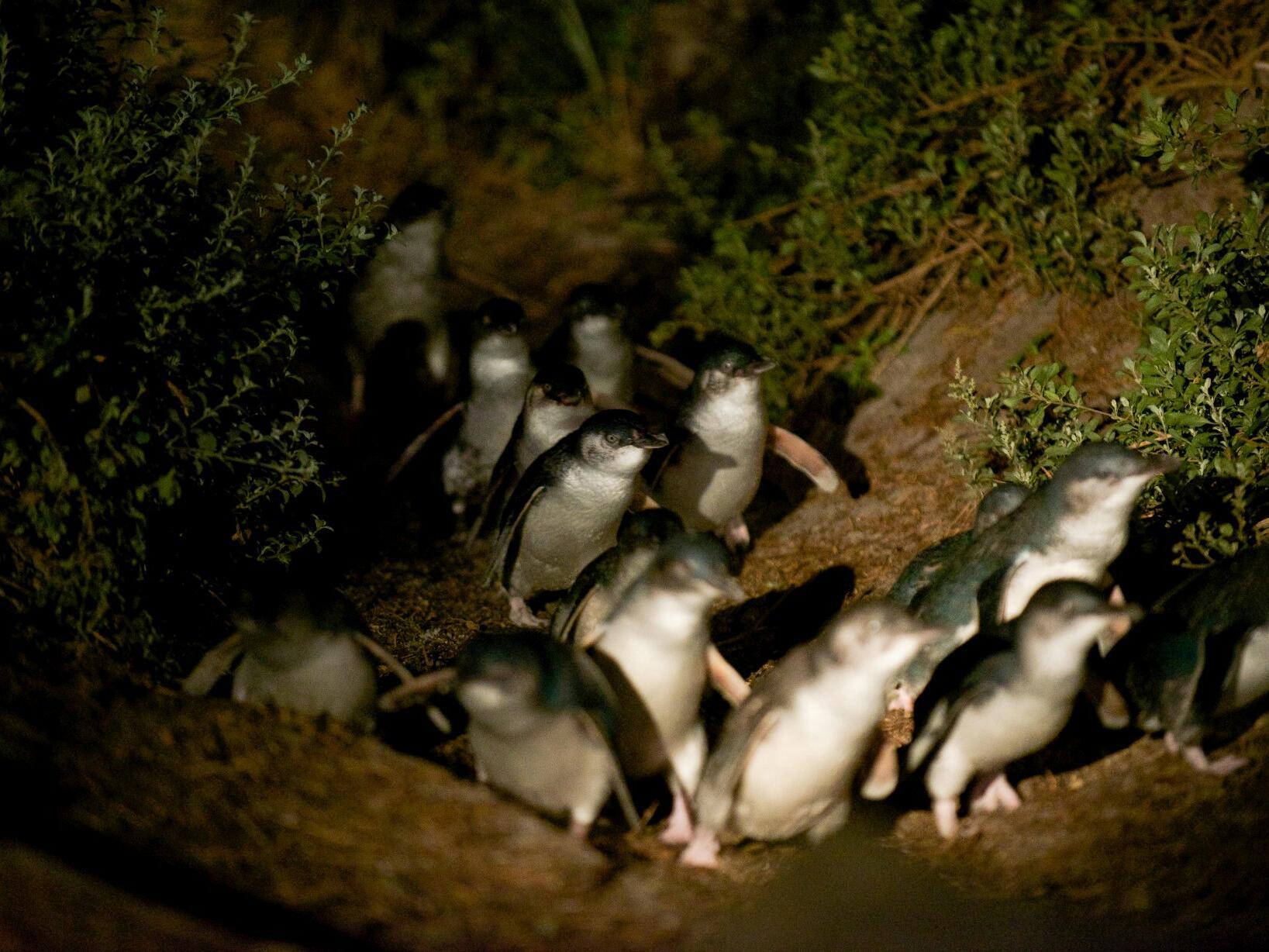 Penguins at night near the Freycinet Lodge
