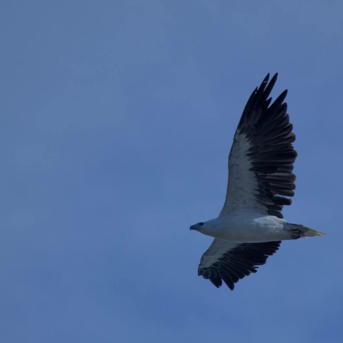 Condor bird flying in the sky near Strahan Village