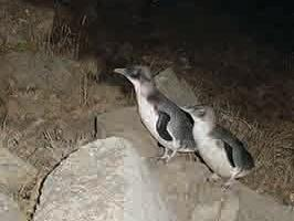 Two baby penguins at Wilderness Area near Strahan Village