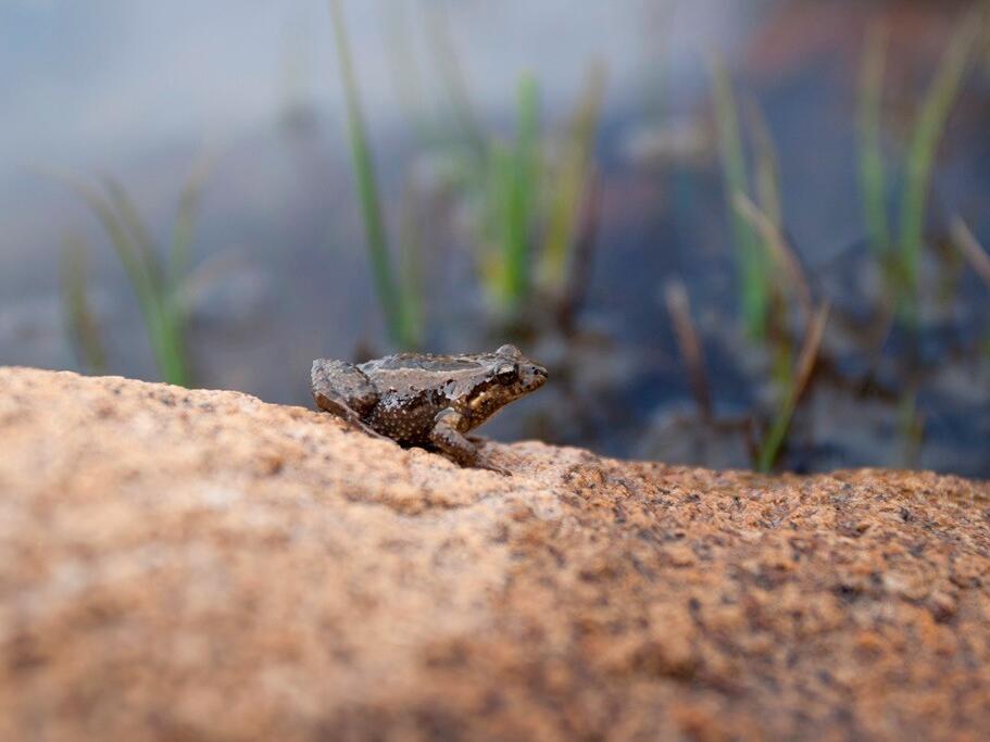 Frog on a rock at freycinet national park near Strahan Village