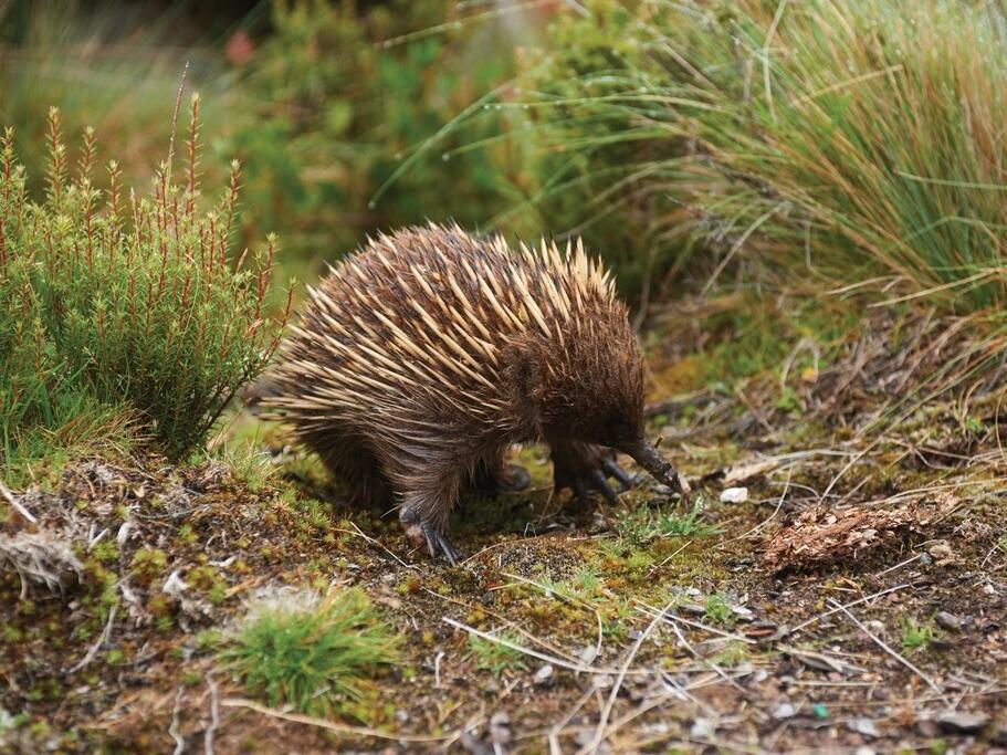 Platypus at west coast of Tasmania near Strahan Village