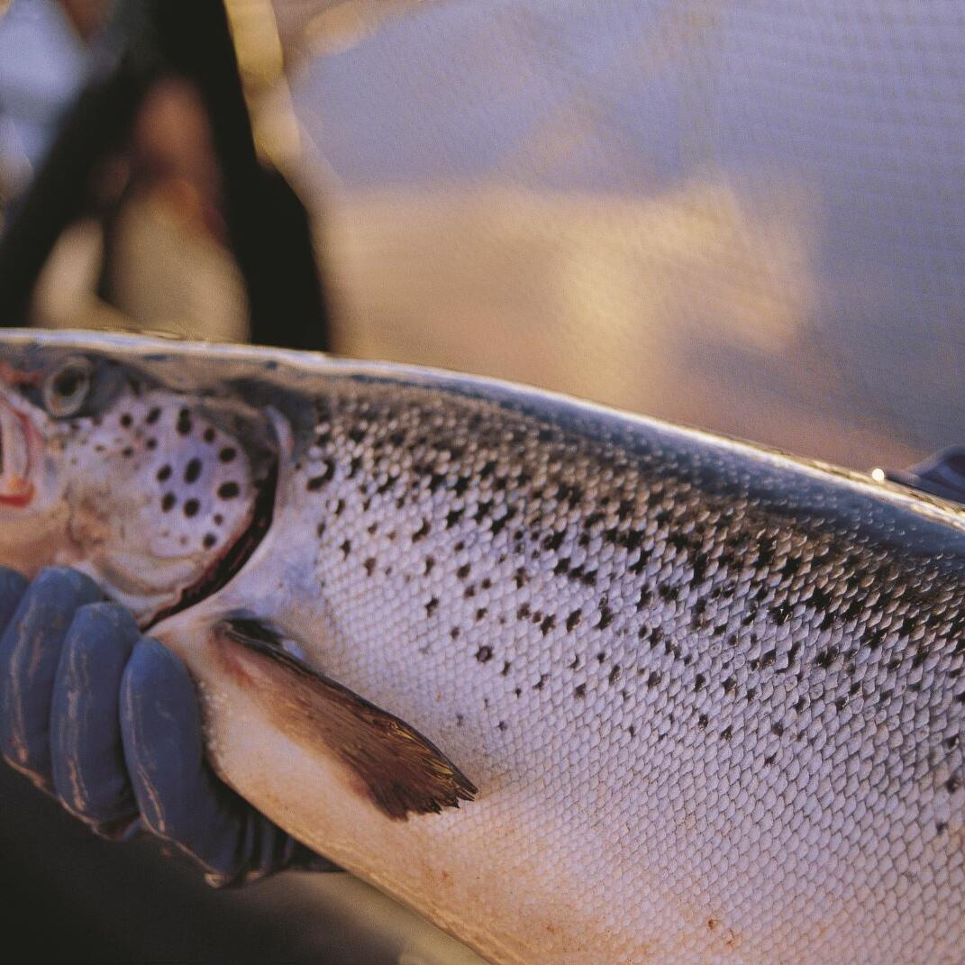 Fish selling at salmon aquaculture near Gordon River Cruises