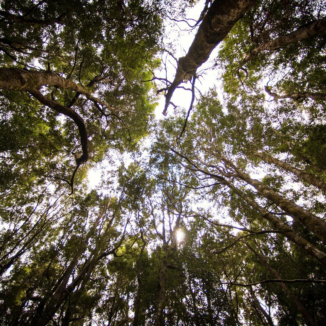 Tasmania's Huon Pine trees near Gordon River Cruises