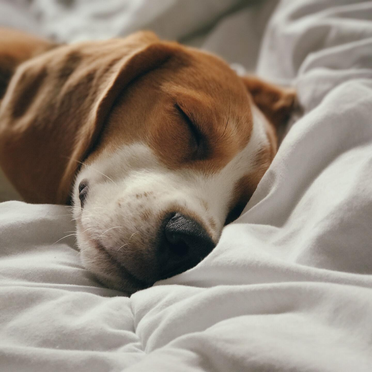 A closeup picture of a dog sleeping on a bed
