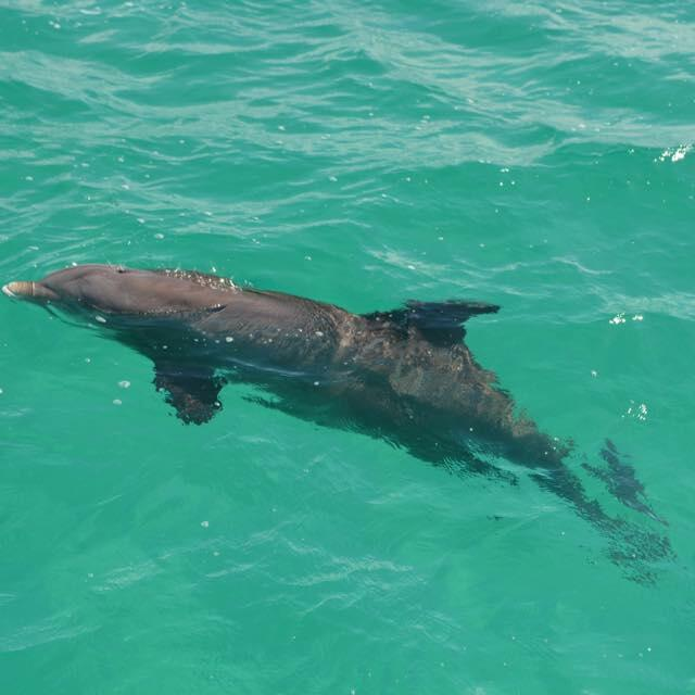 Dolphin at the sea near Somerset On Grace Bay