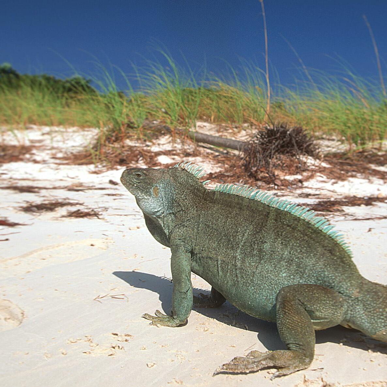 Green Iguana by the beach near The Somerset On Grace Bay