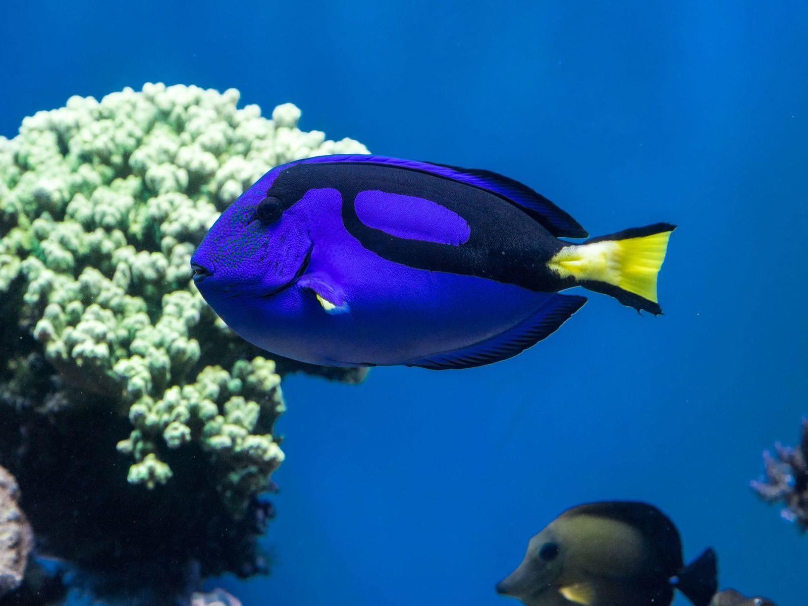 Blue fish swims by a piece of coral