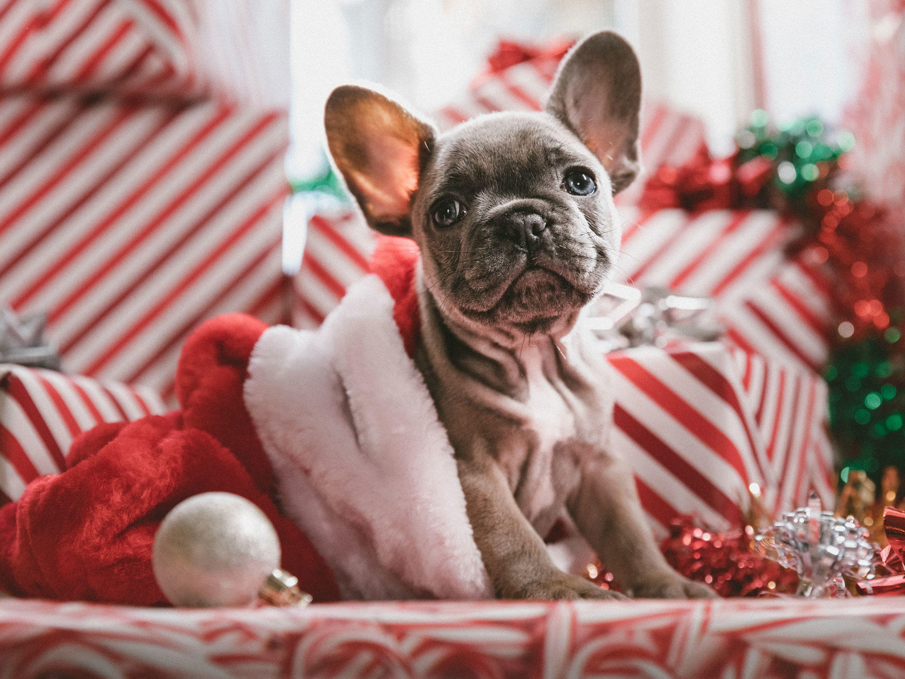 dog in christmas stocking surrounded by presents