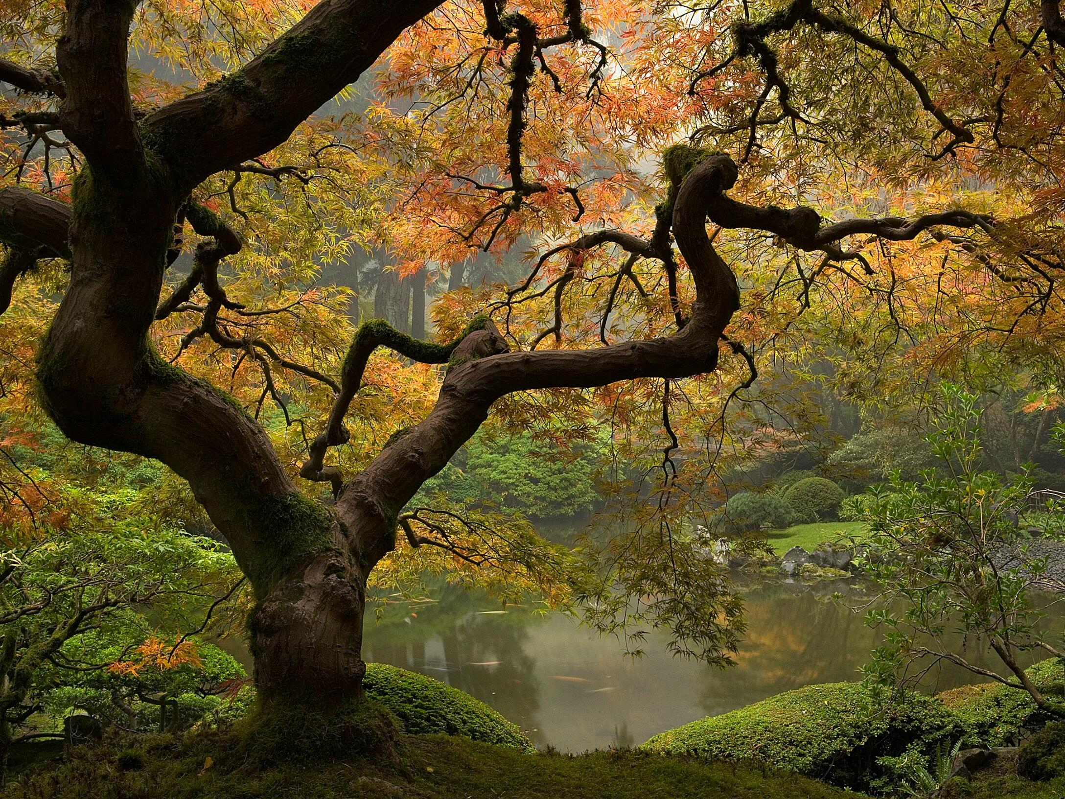 A Japanese Maple tree near a pond