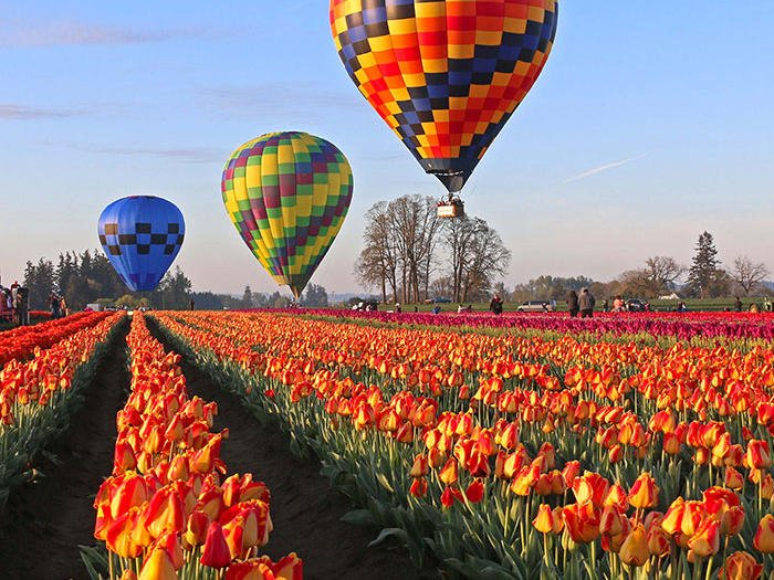 Hot air balloons at the wooden shoe tulip farm