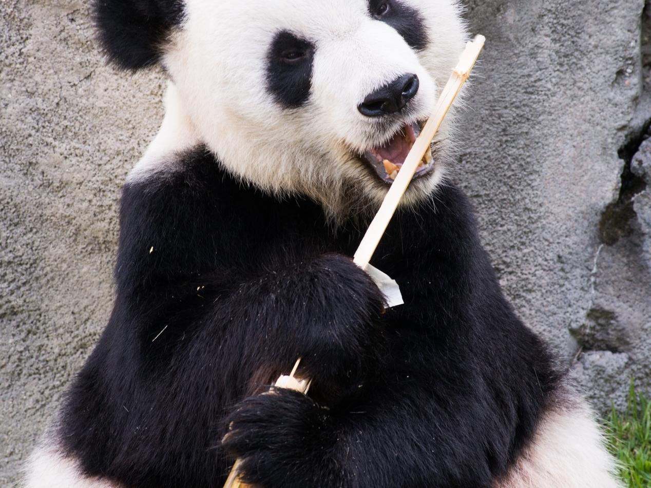 Panda eating bamboo at Memphis Zoo