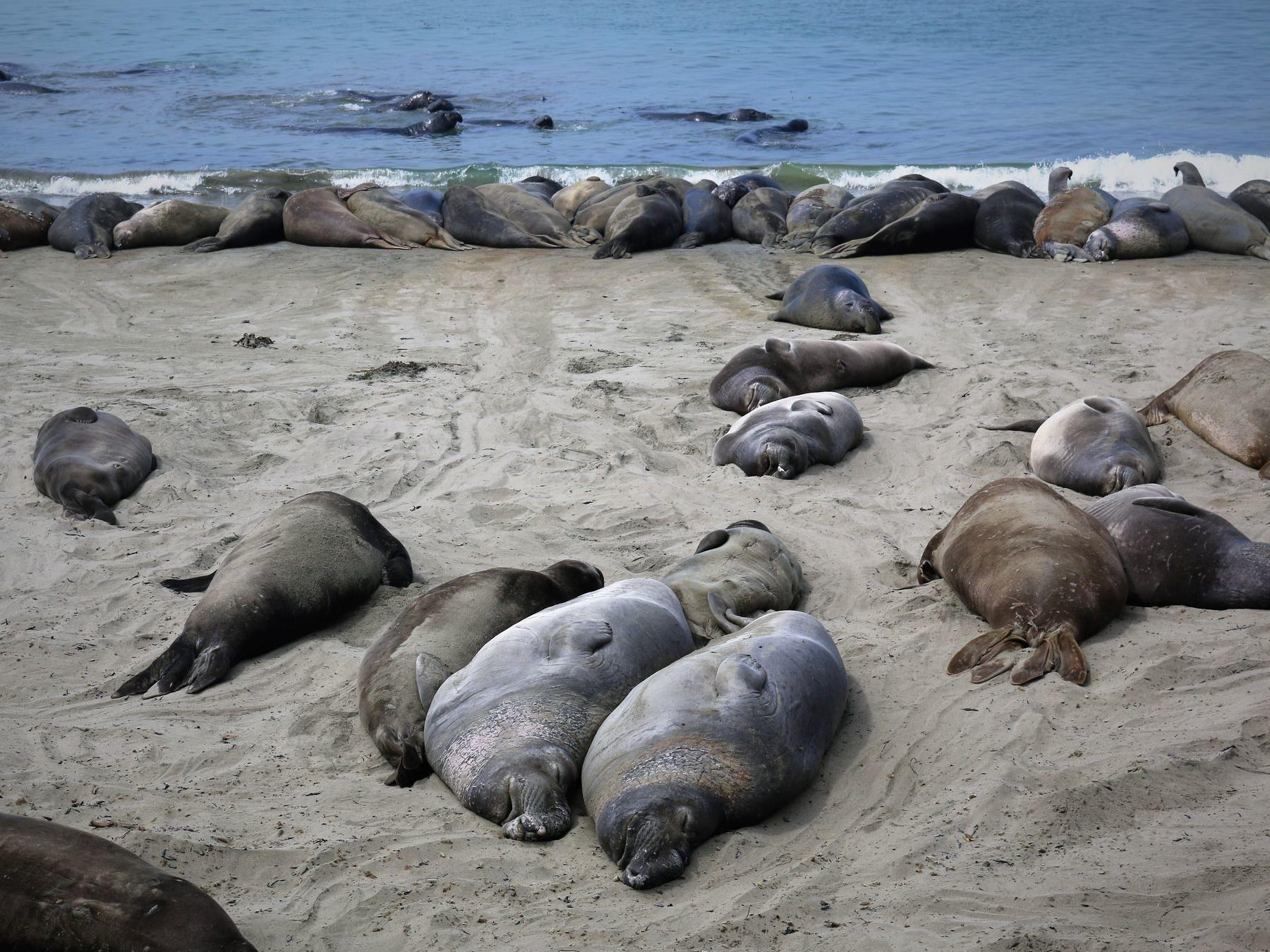 Group of Elephant Seals at Vista Point
