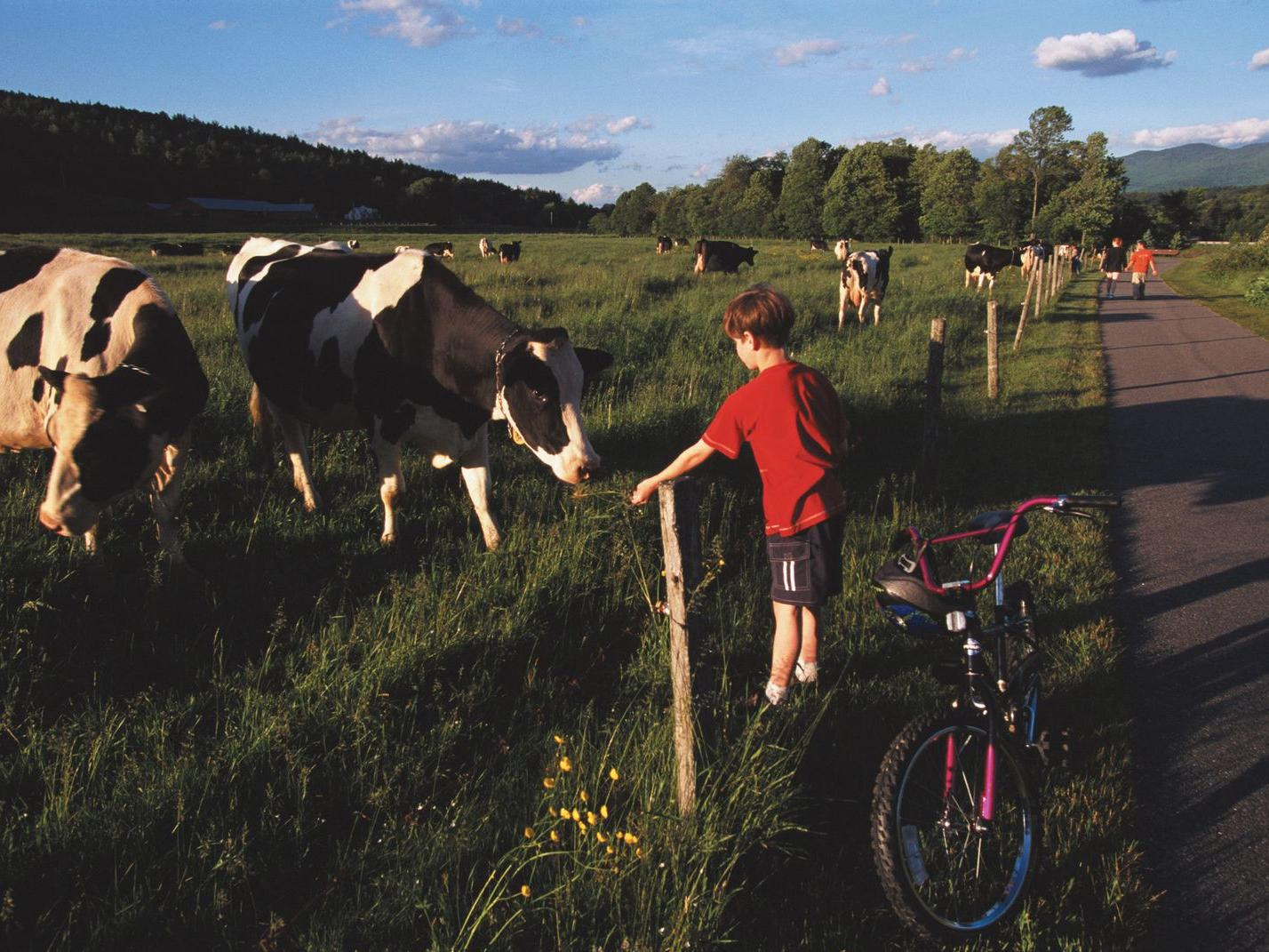 Boy on a mountain road introducing himself to some cows.
