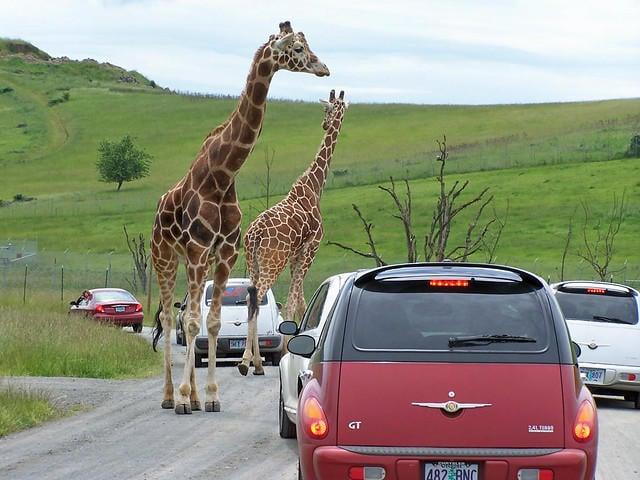 Giraffes at Oregon Wildlife Safari