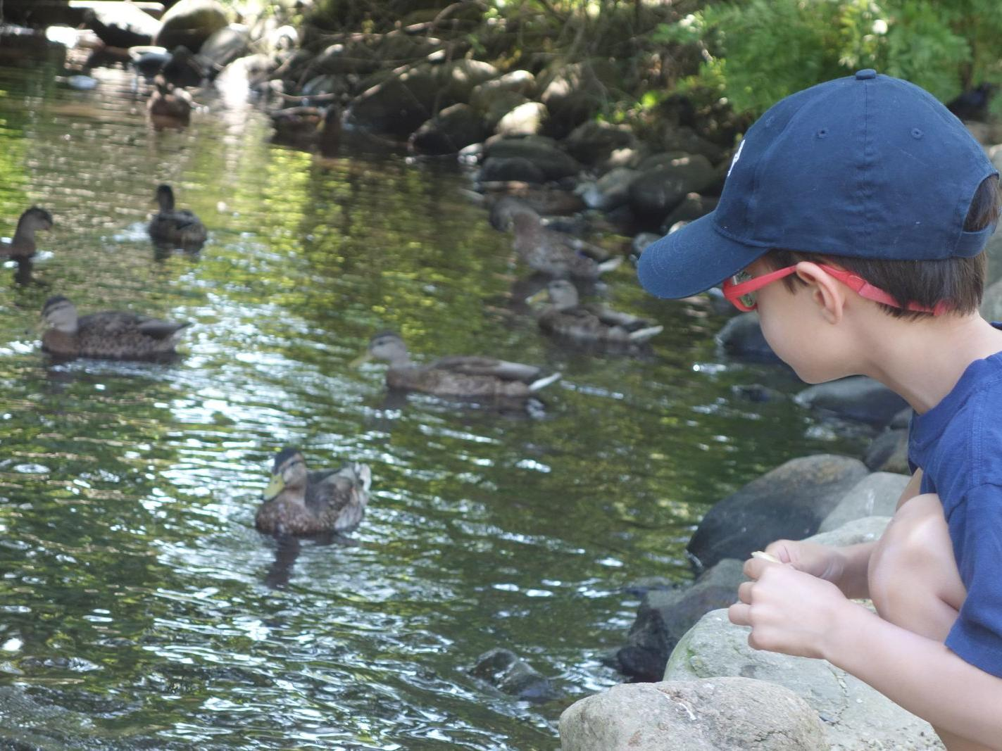 a child looking at ducks in a pond