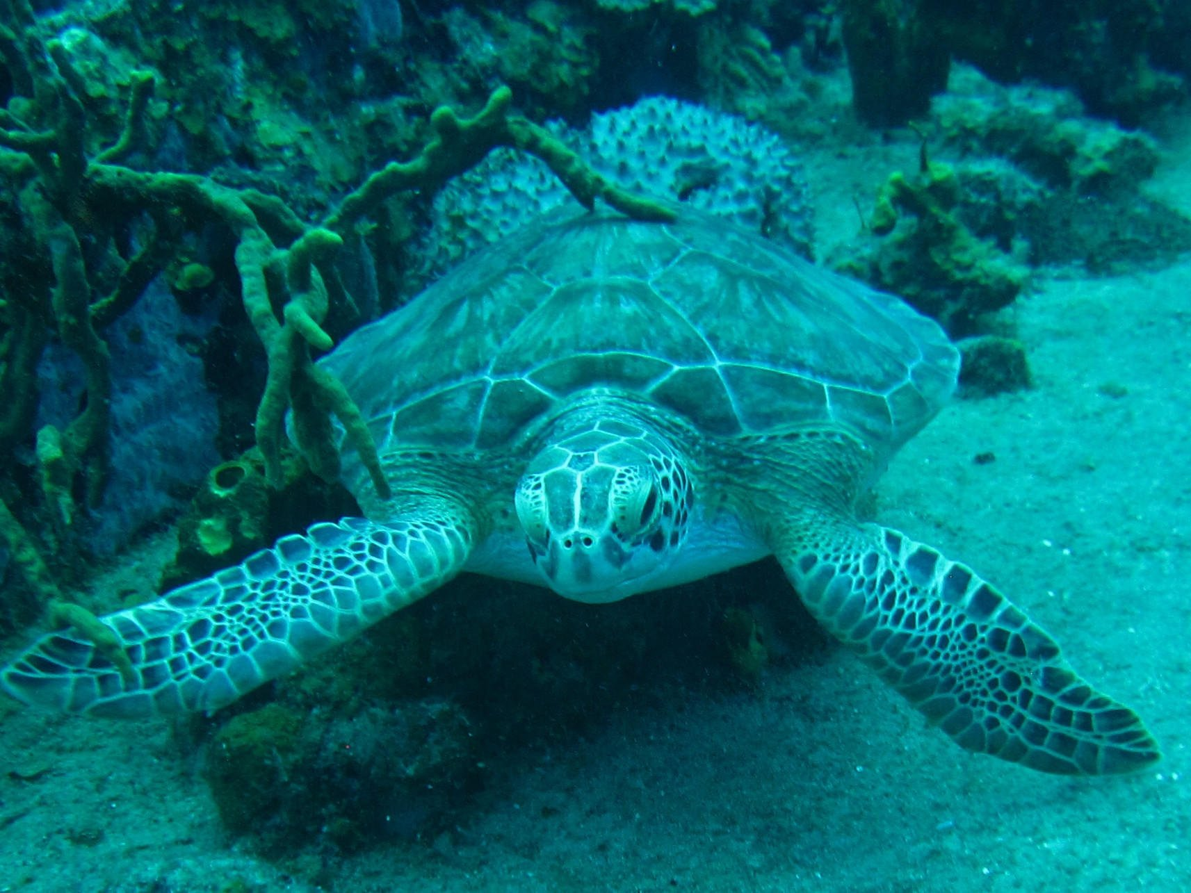 Turtle in the sea bed at Tamarind Reef Resort