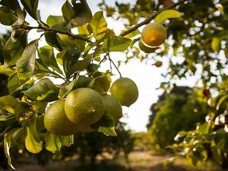Zitronenbaum - Soller