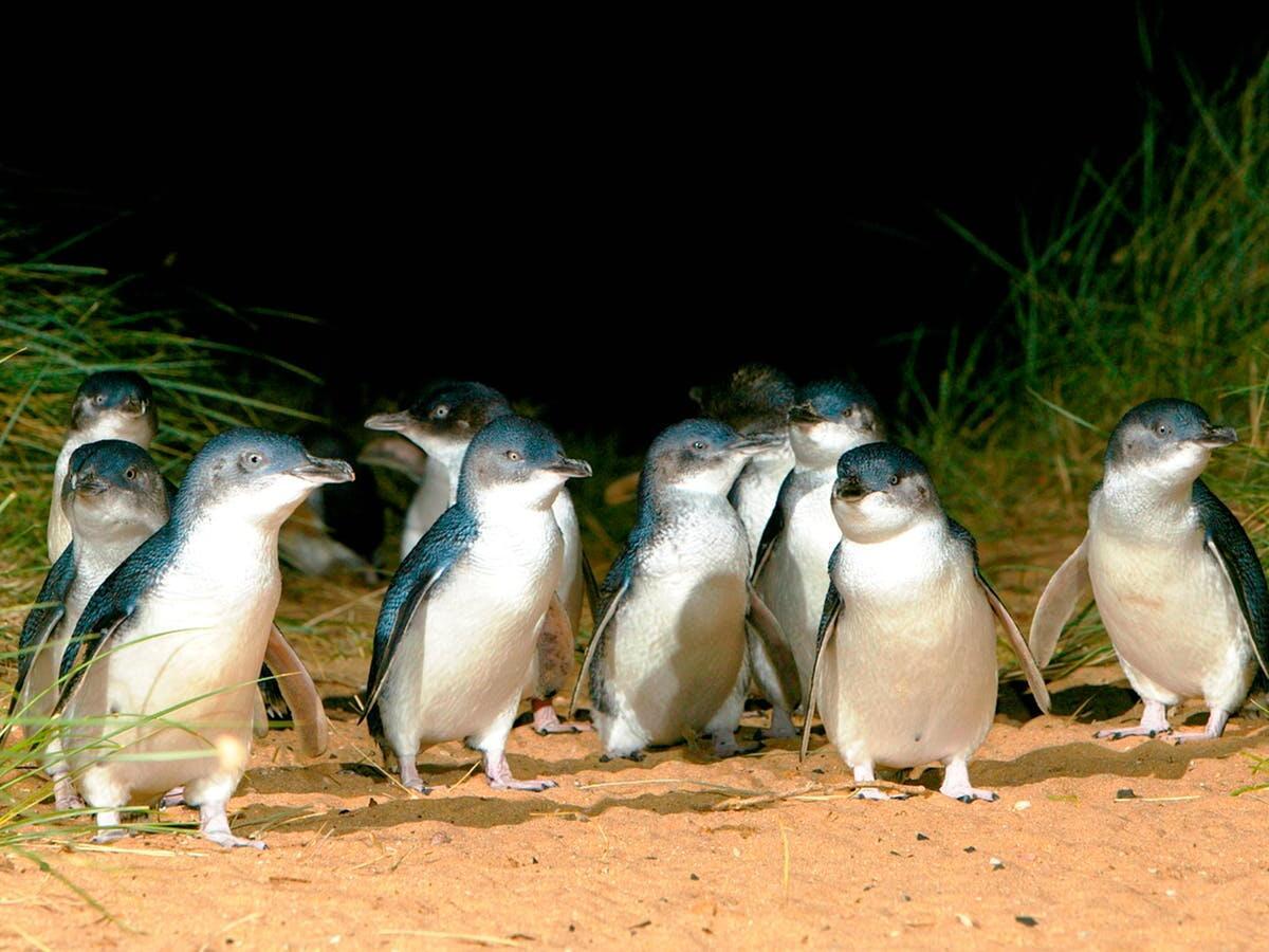 Penguins in Phillip Island Nature Parks near Silverwater Resort