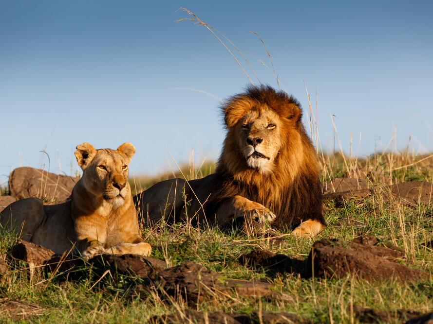 view of pride lion and lioness gazing