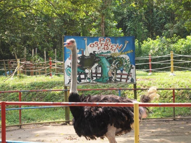 ostrich farm in port dickson