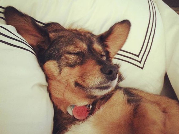 dog sleeping like a human on pillow