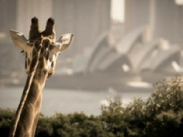 Giraffe looking at the sydney near the Pullma Quay Grand Sydney Harbour
