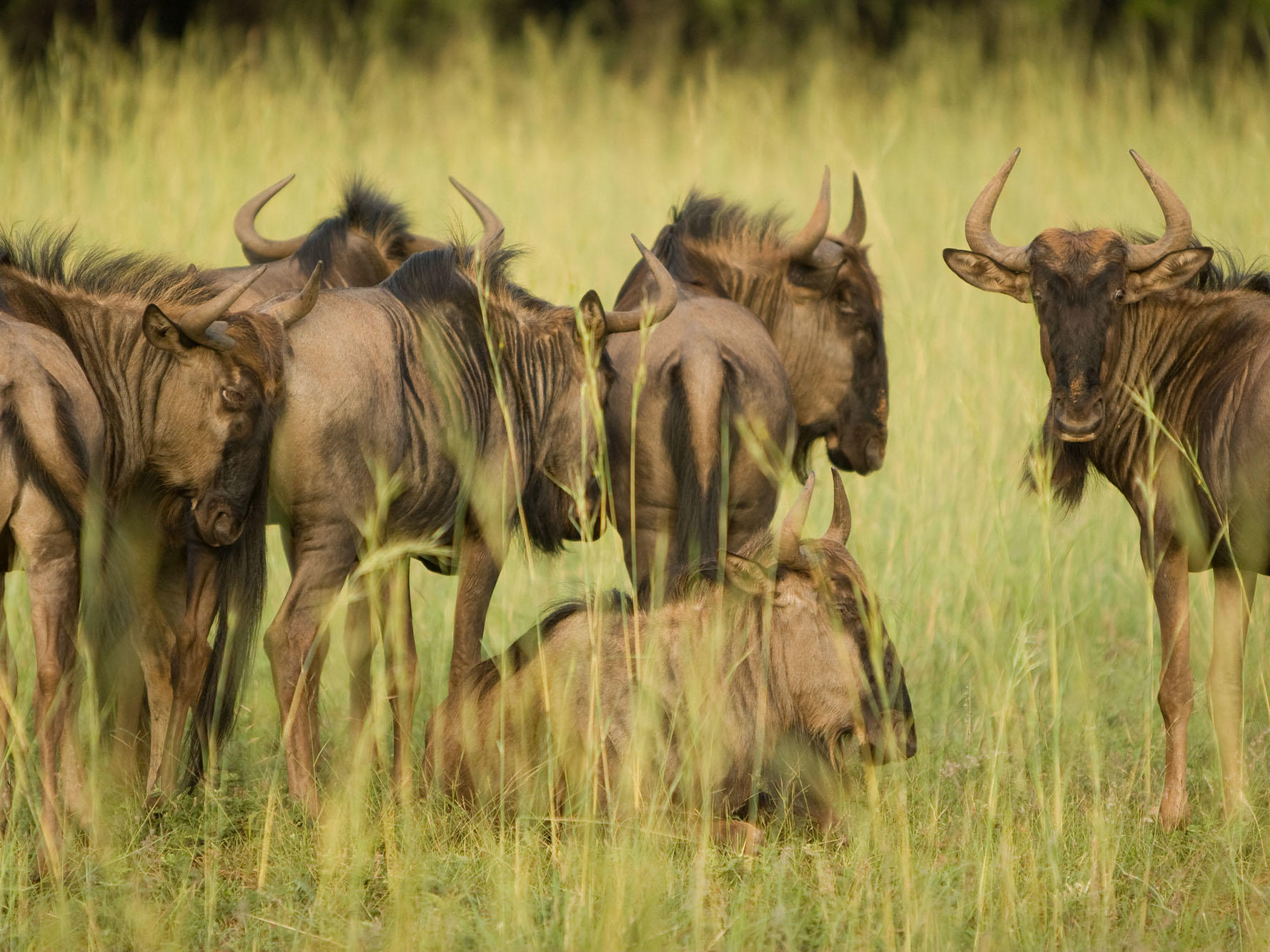 Group of Wildebeests