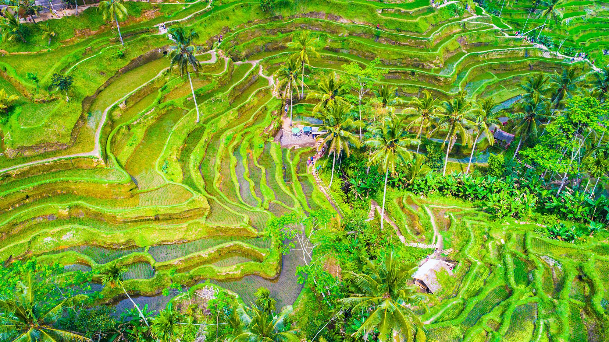ubud rice culture