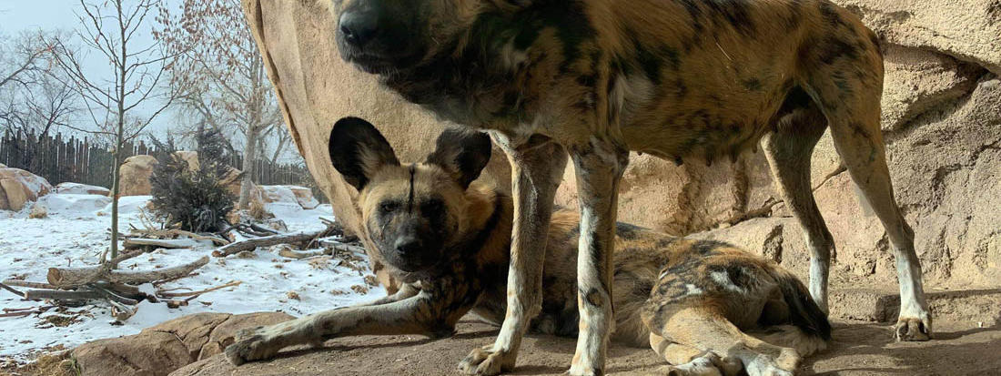 african_wild_dogs_tilly_and_jesse denver ZOO Heidi Laursen