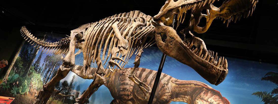 Dinos in Museum